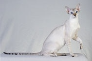 The Colorpoint Shorthair Cat Breed