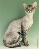 The Devon Rex Cat Breed
