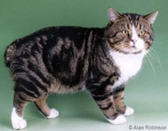 Manx Cat Breed - Facts and Personality Traits | Hill's Pet