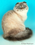 Scottish Fold Cat Breed Facts And Personality Traits Hill S Pet