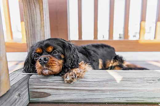 Black and tan cavalier king Charles napping on a deck.