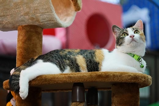 Calico cat in green collar laying on a cat condo