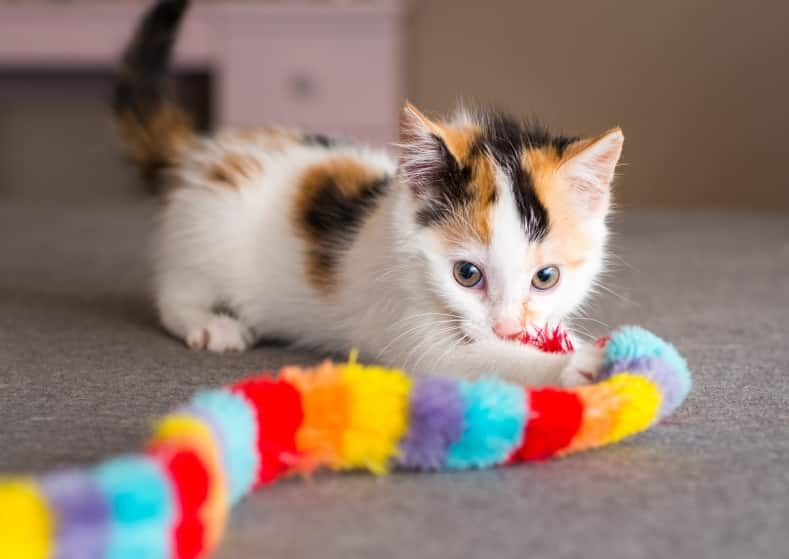 Calico kitten playing with toy.