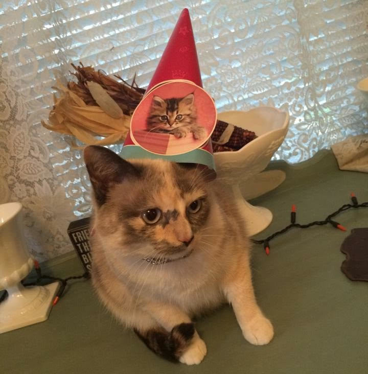 white and tortoise cat wearing a birthday party hat