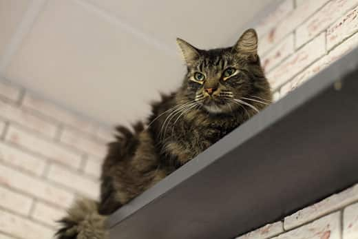 Fluffy cat lays on top of a gray shelf with brick wall in background.