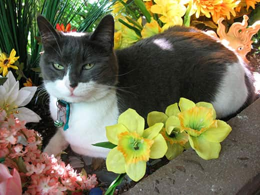 Black and white cat sitting in flower bed