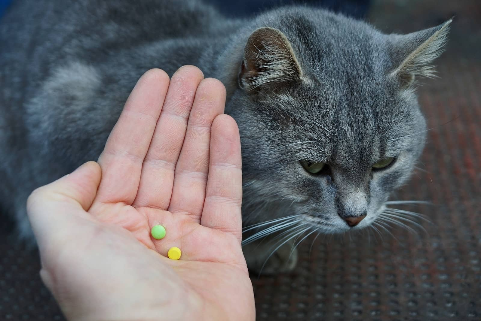 Hand holding out pills over the top of a gray cat.