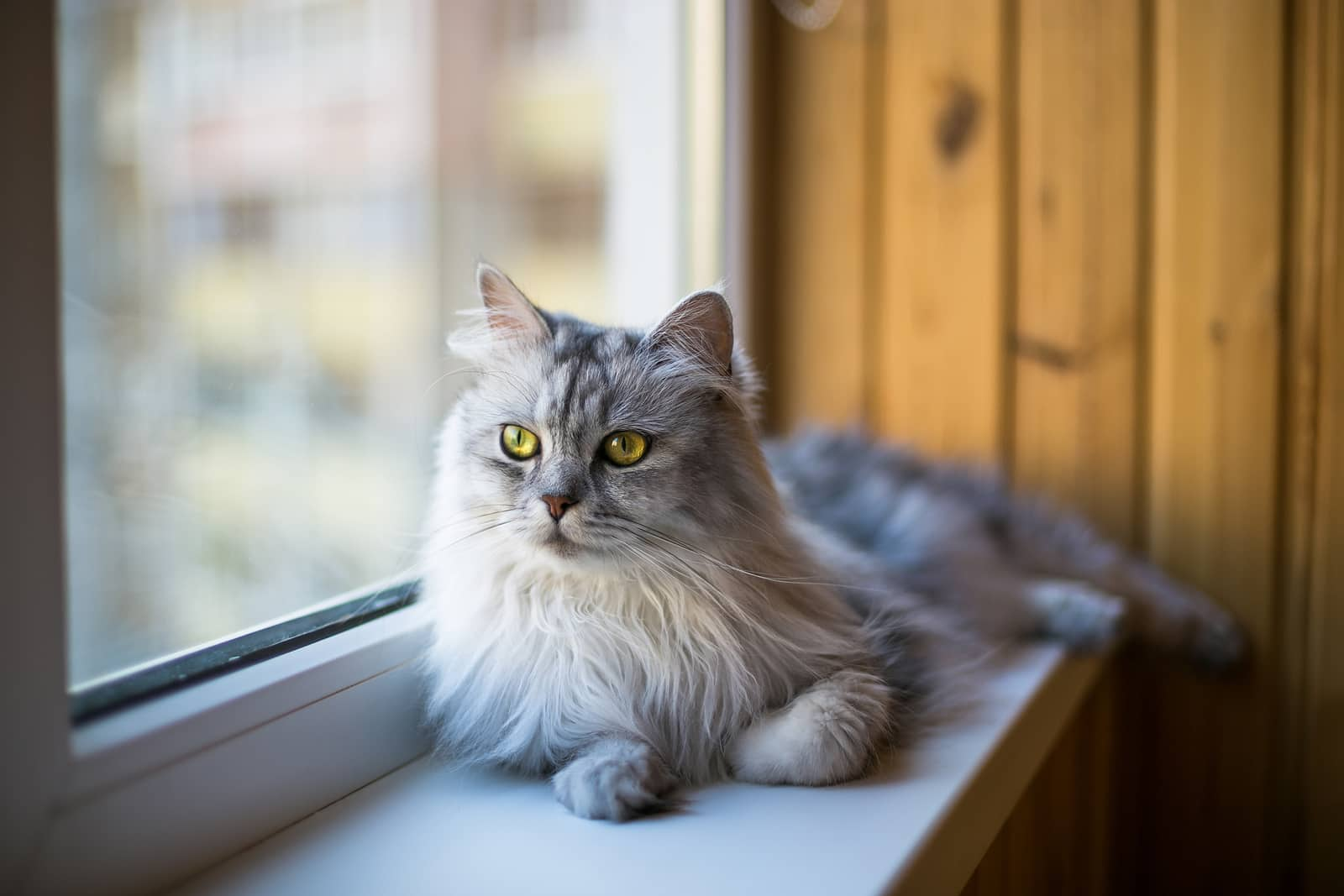 Long-haired cat relaxing on a windowsill.