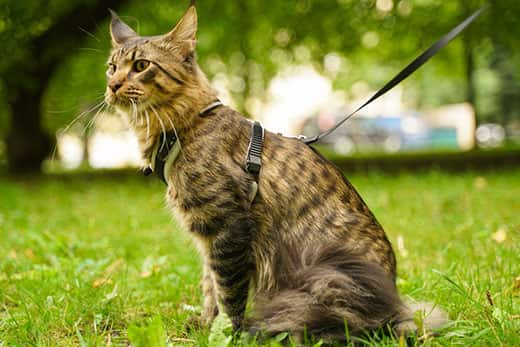 Light brown Maine coon cat in leash and harness walking in the city park on the green grass