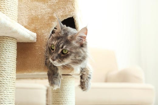 Maine Coon cat hanging out of a cat tree.