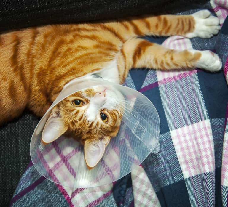 Orange tabby wearing protective cone.