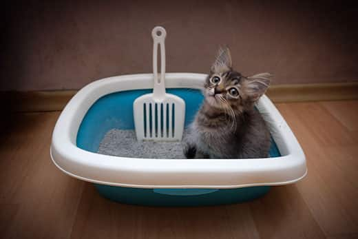 Small gray kitten sitting in a teal litter box.
