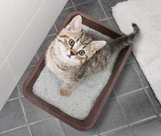 Striped tabby kitten sitting in litter box.