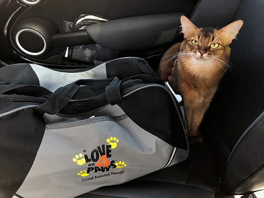 Summer the Therapy Cat sitting next to her bag in the car with all black interior.