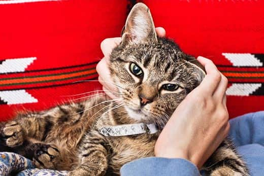 Tabby cat lying on red couch gets pet.
