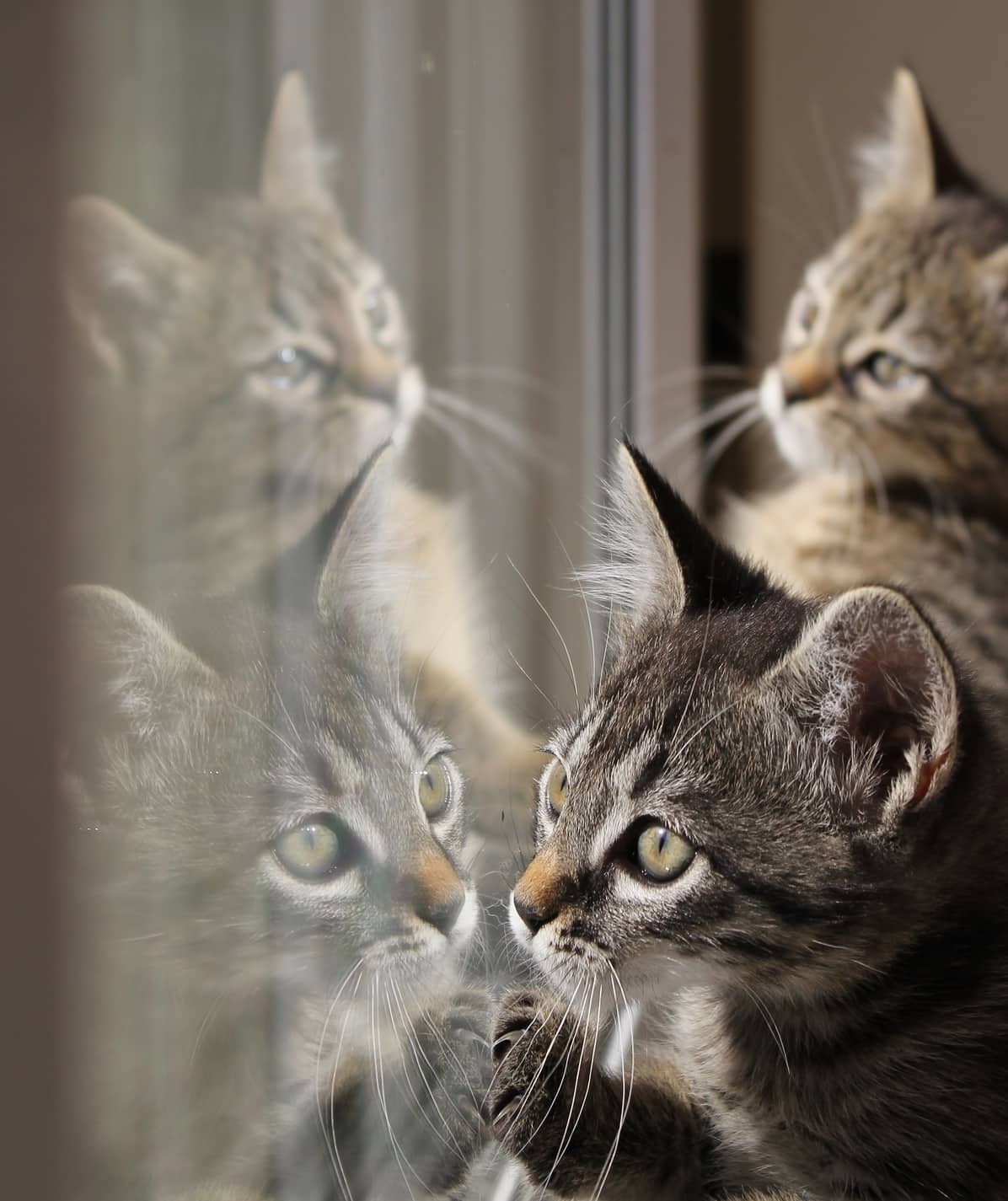Tabby kittens look in a window pane with their reflections on the window