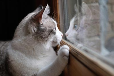 Gray and white cat staring at reflection in window.