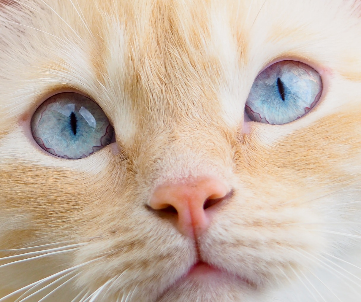 Can Cats Get Conjunctivitis Or Pink Eye Hill S Pet