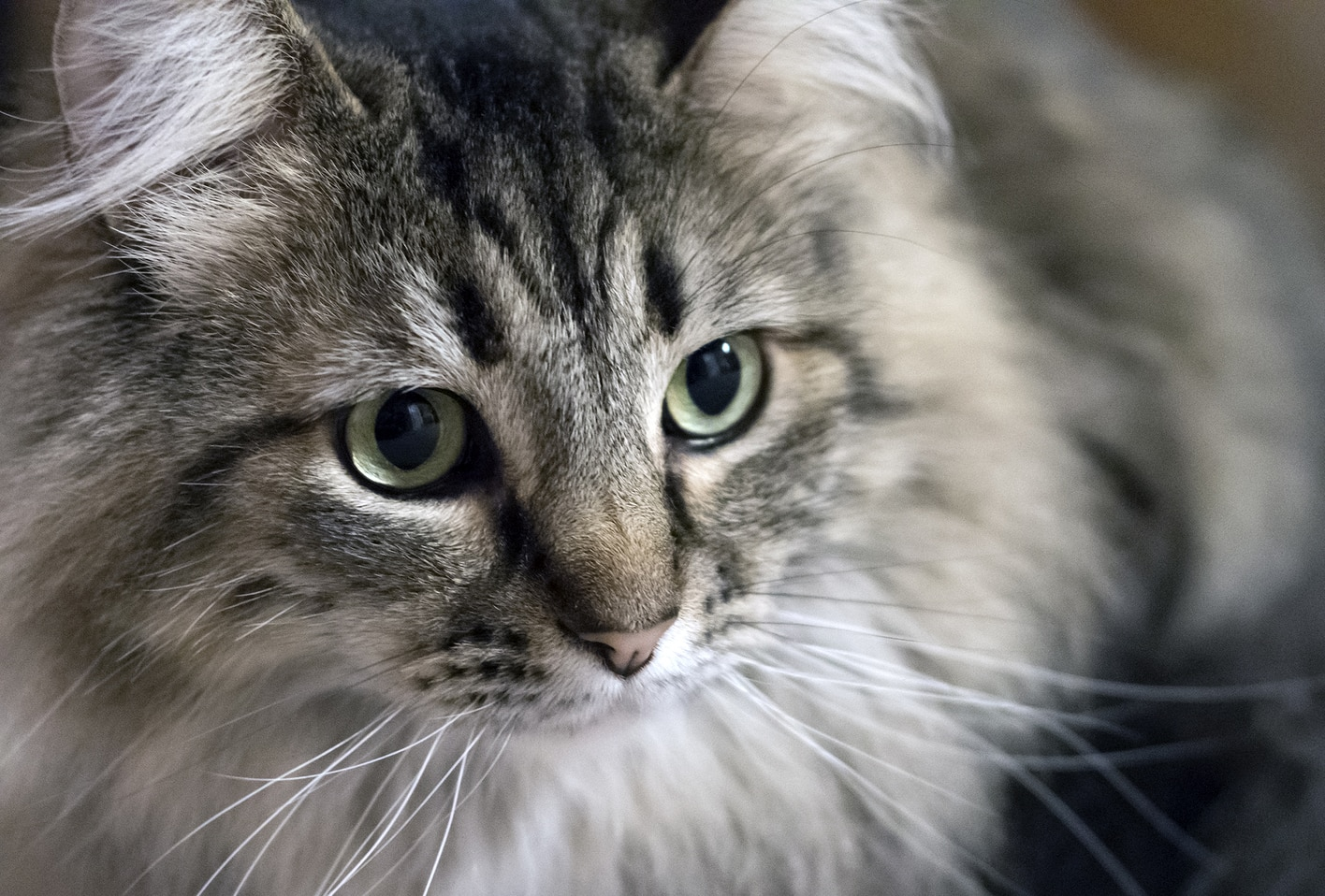 maine coon cat looks off into distance.