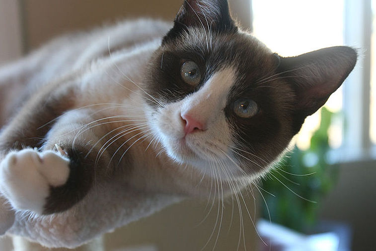 Snowshoe Cat Breed Facts Personality Traits Hills Pet