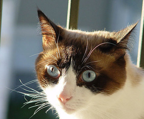 Snowshoe Cat Breed Facts Personality Traits Hill S Pet