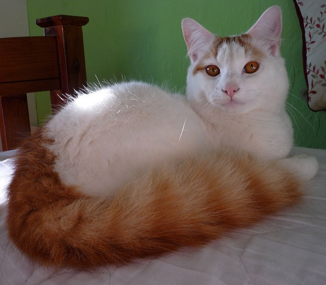 b6d074859b White cat with amber colored eyes and bushy red tail lies on a bed.