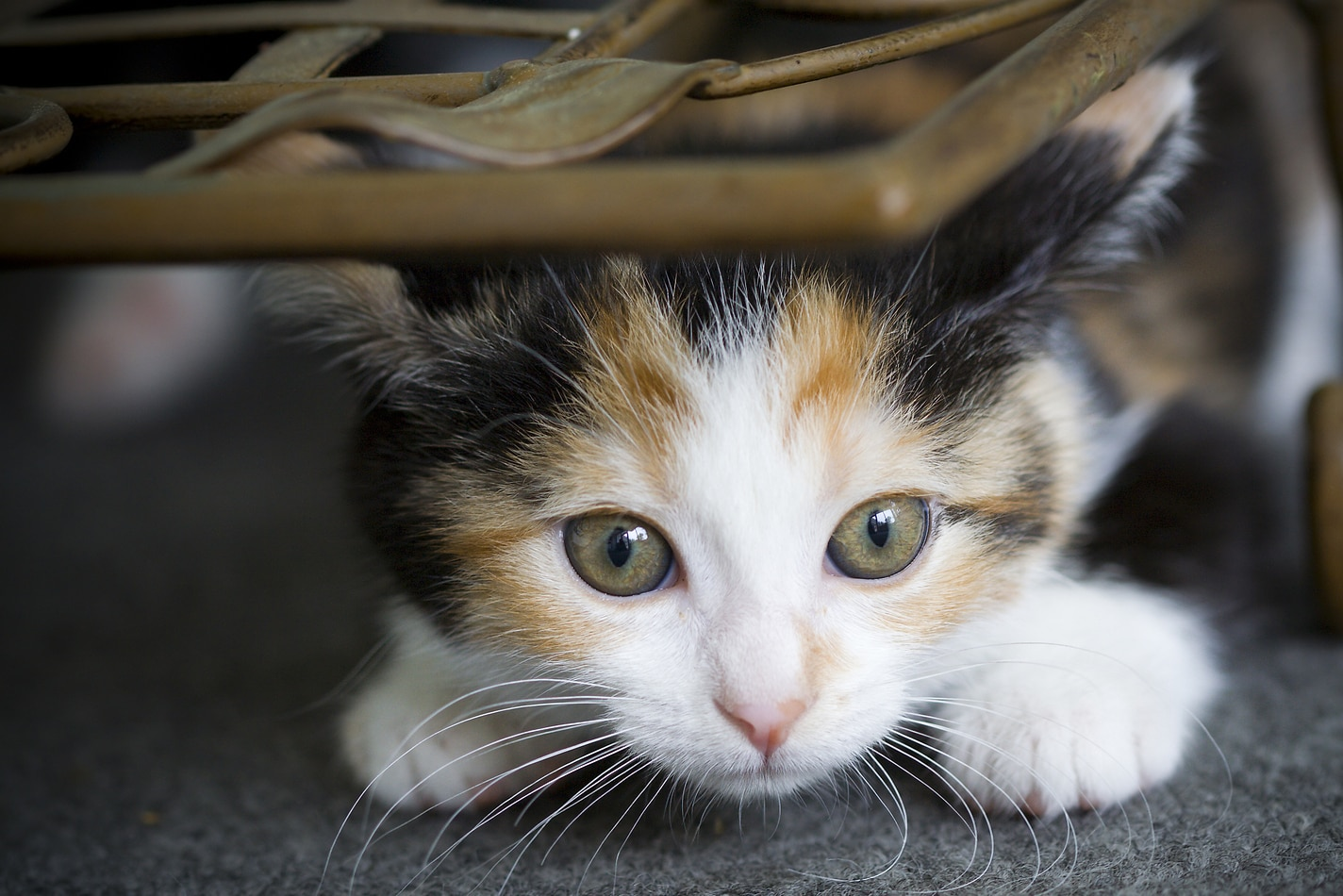 Small calico kitten crouches beneach a wicker chair.