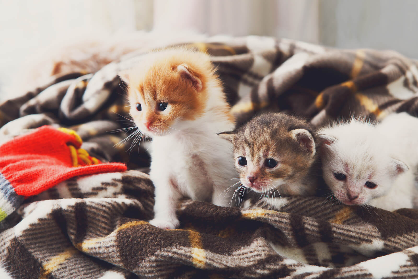 Kittens sitting on a brown plaid blanket.