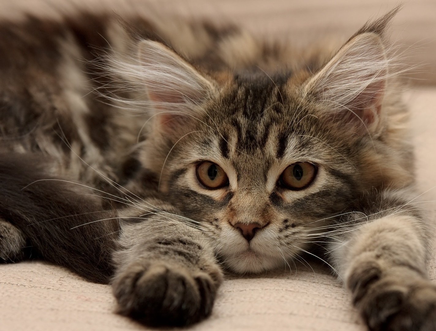 maine coon kitten lying down extending paws forward