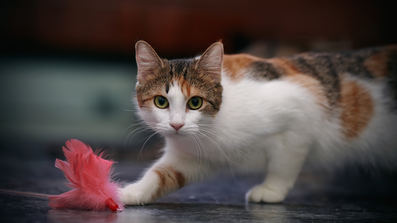 Calico cat chases after pink feather toy