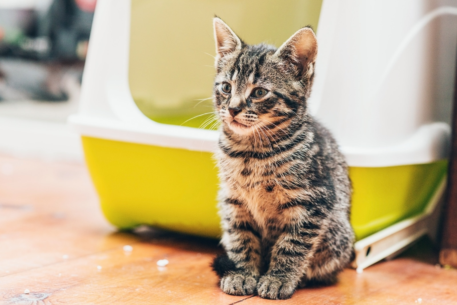 Training Your Kitten To Use The Litter Box Hill S Pet