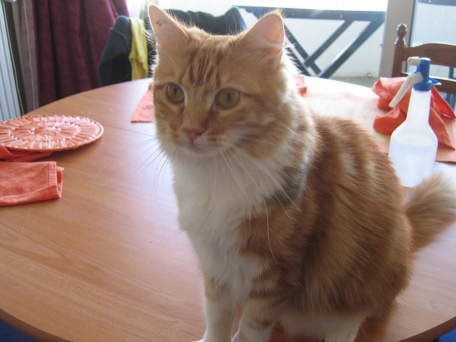 orange cat sitting on kitchen table