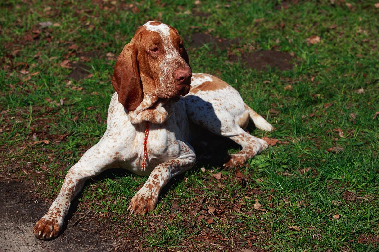bracco italiano dog breed personality information hill s pet