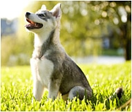 What is a klee kai