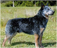 Australian Cattle Dog Breed Facts And Traits Hill S Pet
