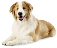 The Australian Shepherd Dog Breed