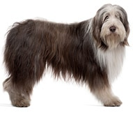 The Bearded Collie Dog Breed