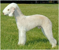 The Bedlington Terrier Dog Breed