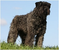Bouvier Des Flandres Dog Breed Facts