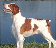 Brittany Dog Breed Facts And