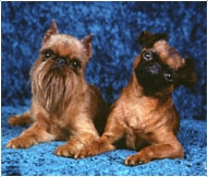 Brussels Griffon Dog Breed Facts And