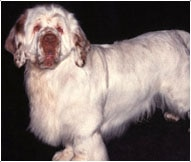 The Clumber Spaniel Dog Breed