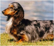 Dachshund Dog Breed - Facts and Personality Traits | Hill's Pet