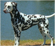 The Dalmatian Dog Breed
