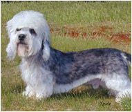 Dan Dinmont Terrier Dog Breed Facts