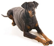 Image of: Puppy The Doberman Dog Breed Pets Best Doberman Dog Breed Facts And Personality Traits Hills Pet