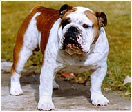English Bulldog Breed Facts And Personality Traits Hill S Pet