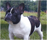 French Bulldog Breed Facts And Personality Traits Hill S Pet