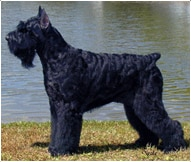 The Giant Schnauzer Dog Breed