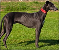 Greyhound Dog Breed Facts And